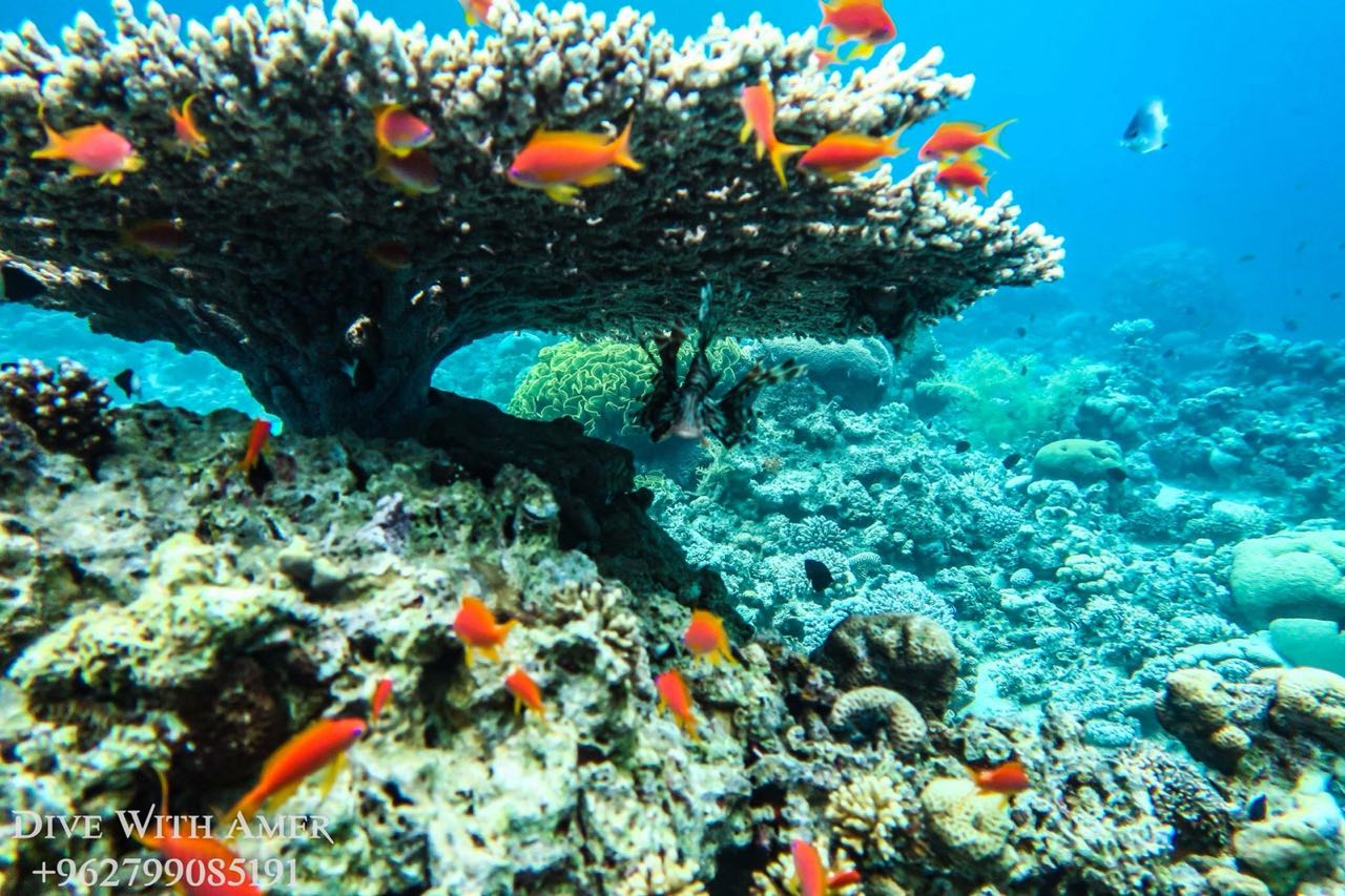 Fire Coral in Red sea Aqaba