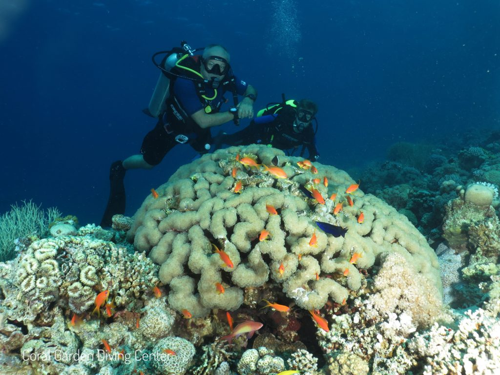 Brain coral red sea aqaba
