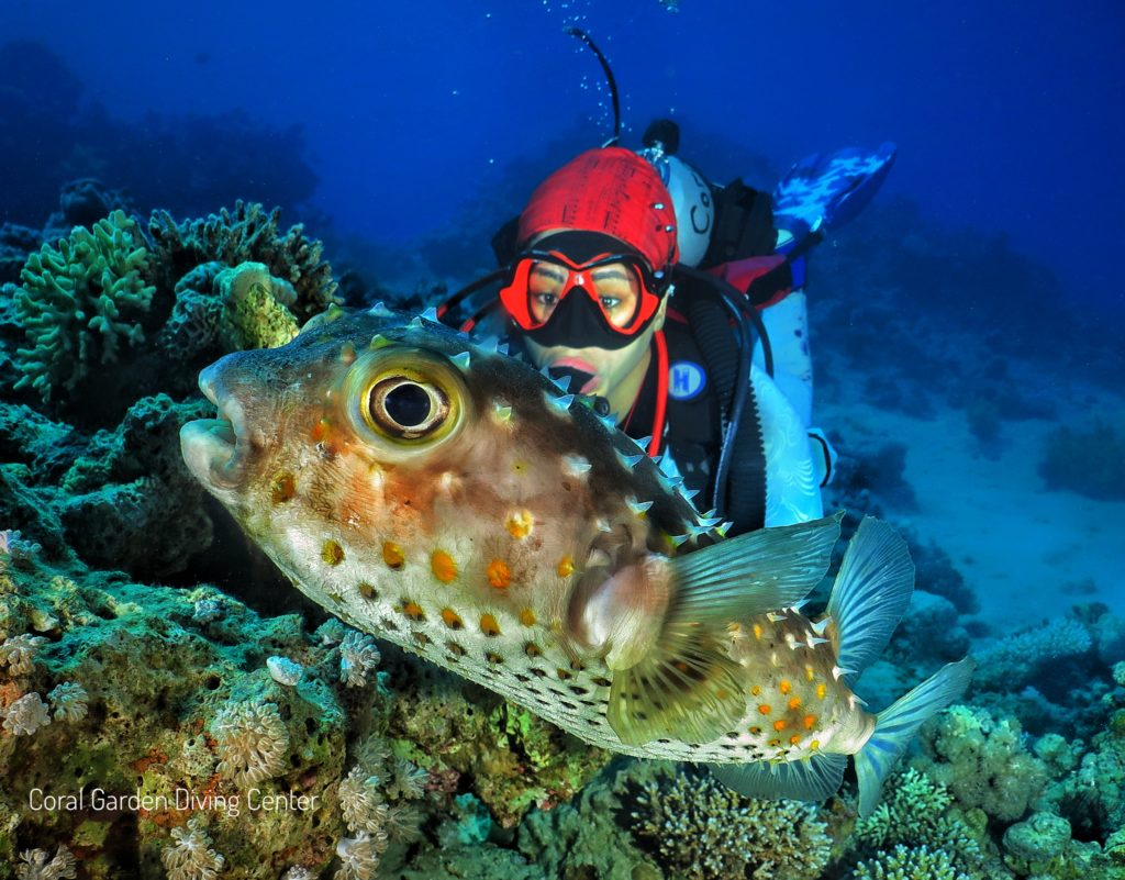 Puffer fish and diver red sea aqaba