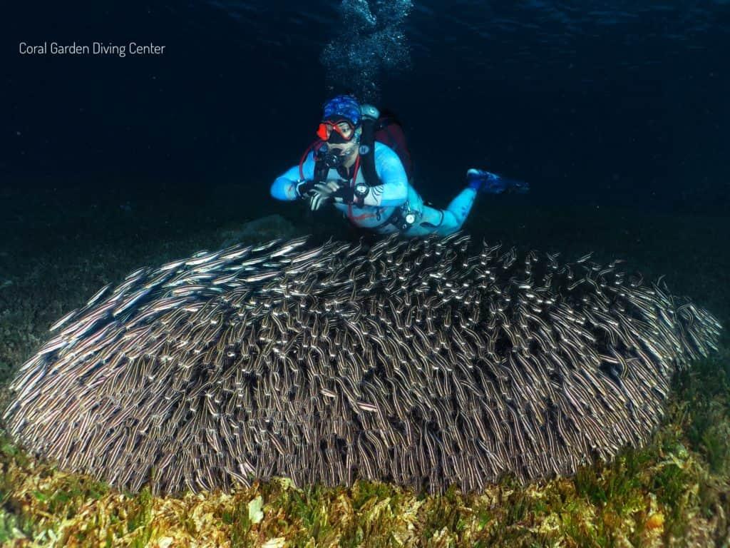 Cat fishes red sea aqaba