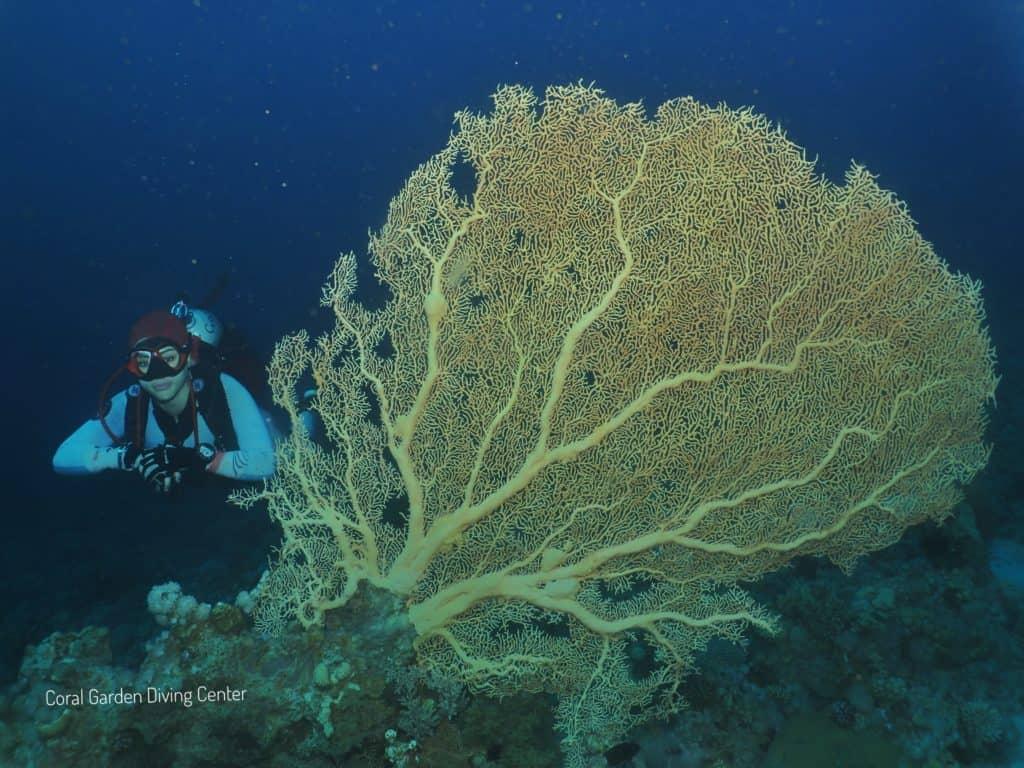 Gorgonia coral red sea aqaba