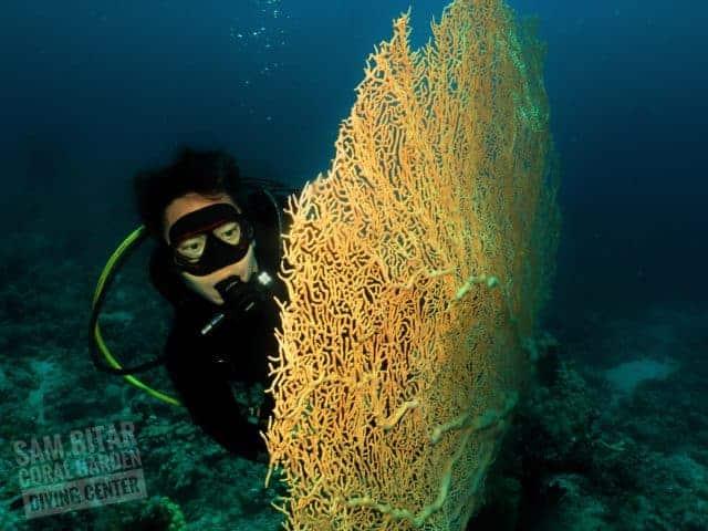 Gorgonia coral corals diving in Aqaba