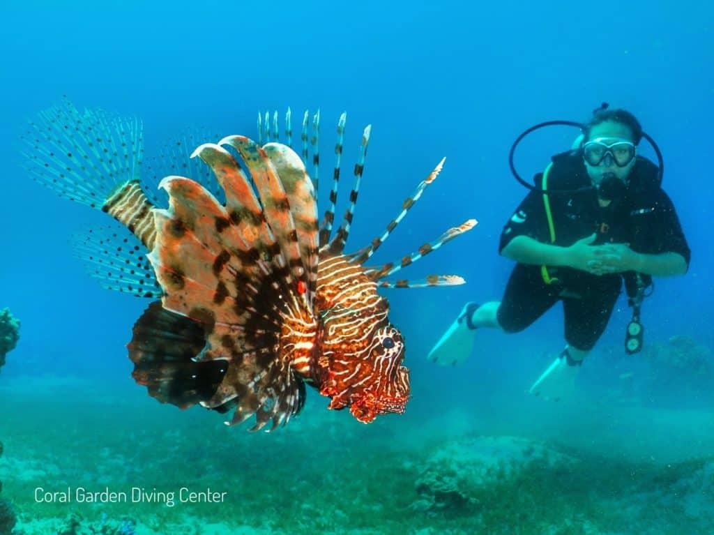 free dive, Lion fish red sea aqaba