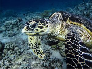sea turtle next corals