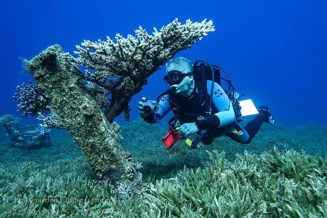 Table coral at sea bottom, dive in Aqaba